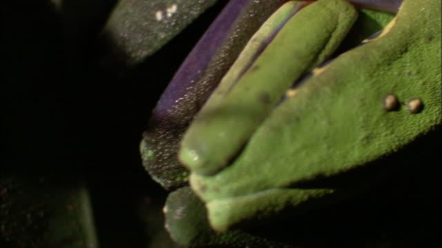 vídeos y material grabado en eventos de stock de red-eyed tee frogs (agalychnis callidryas) spawn onto leaf, costa rica - rana arborícola de los ojos rojos