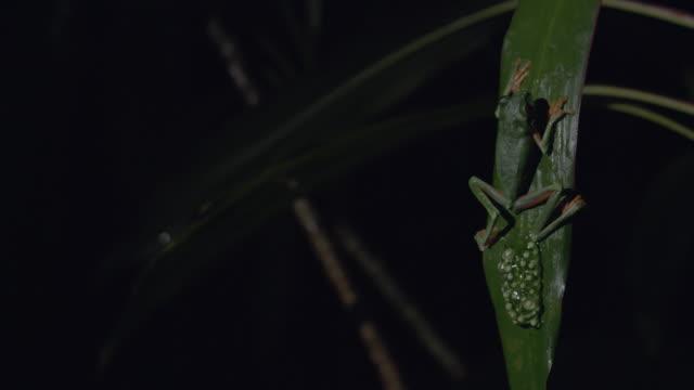 vídeos y material grabado en eventos de stock de ms pan red-eyed tree frog and eggs on tree leaf / panamá province, panama - rana arborícola de los ojos rojos