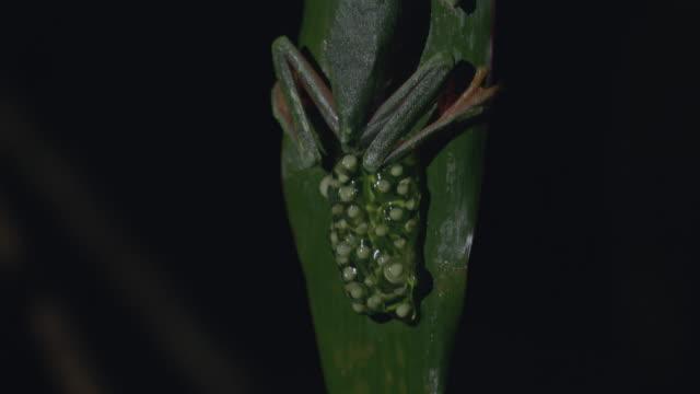 vídeos y material grabado en eventos de stock de cu tu red-eyed tree frog and eggs on tree leaf / panamá province, panama - rana arborícola de los ojos rojos