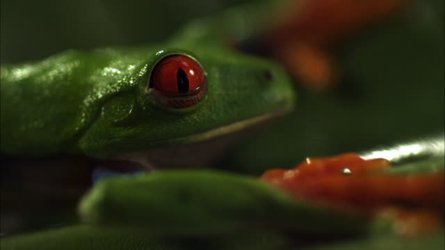 A red-eyed tree frog blinks in slow motion.