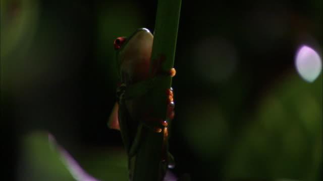 vídeos y material grabado en eventos de stock de red-eyed tree frog (agalychnis callidryas) clambers over another, costa rica - rana arborícola de los ojos rojos