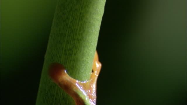 vídeos y material grabado en eventos de stock de red-eyed tree frog (agalychnis callidryas) clambers up stem, costa rica - rana arborícola de los ojos rojos