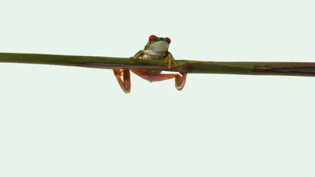 ws, zi, red-eyed tree frog (agalychnis callidryas) climbing onto twig - twig stock videos & royalty-free footage