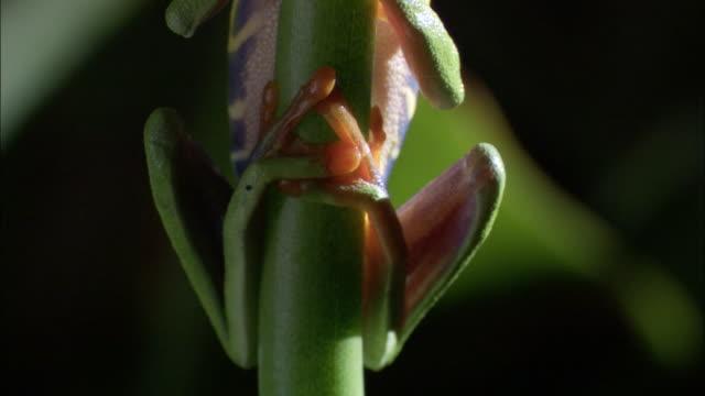 vídeos y material grabado en eventos de stock de red-eyed tree frog (agalychnis callidryas) clings to stem, costa rica - rana arborícola de los ojos rojos