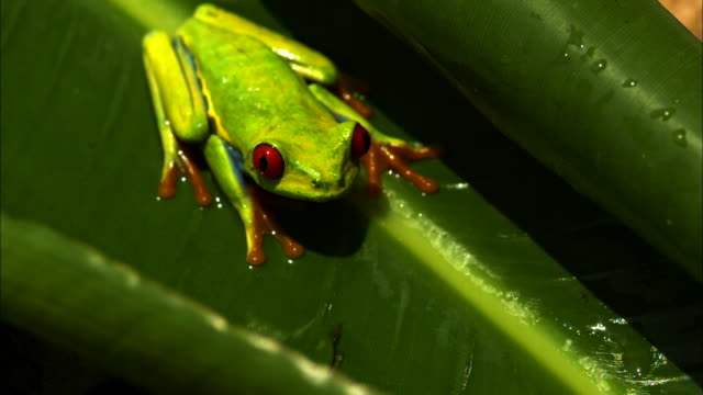 A red-eyed tree frog crouches on a leaf.