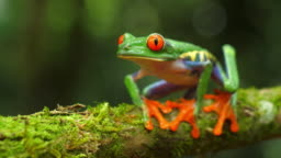Red-eyed tree frog in its natural habitat in the Caribbean rainforest