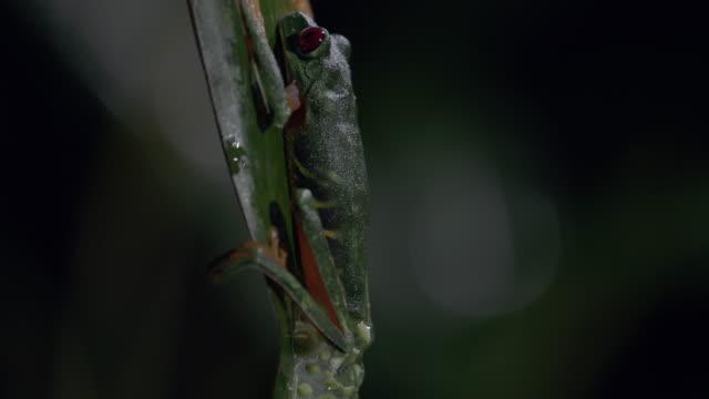 vídeos y material grabado en eventos de stock de cu td red-eyed tree frog laying egg, on tree leaf / panamá province, panama - rana arborícola de los ojos rojos
