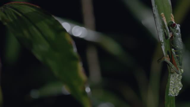 vídeos y material grabado en eventos de stock de ms pan red-eyed tree frog laying egg, on tree leaf / panamá province, panama - rana arborícola de los ojos rojos