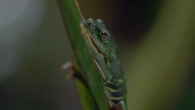 vídeos y material grabado en eventos de stock de ms td red-eyed tree frog laying egg, on tree leaf / panamá province, panama - rana arborícola de los ojos rojos