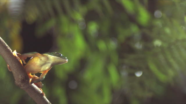 A Red-eyed tree frog leaps from a slender branch. Available in HD.