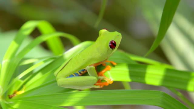 vídeos y material grabado en eventos de stock de red-eyed tree frog looking around - rana arborícola de los ojos rojos
