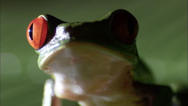 vídeos y material grabado en eventos de stock de red-eyed tree frog (agalychnis callidryas) on leaf, costa rica - rana