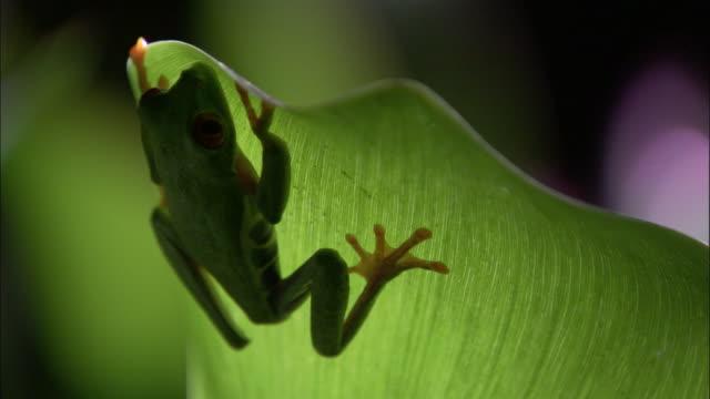 vídeos y material grabado en eventos de stock de red-eyed tree frog (agalychnis callidryas) on leaf, costa rica - rana arborícola de los ojos rojos