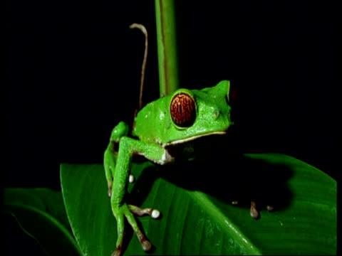 vídeos y material grabado en eventos de stock de cu red-eyed tree frog on leaf, south america - rana arborícola de los ojos rojos