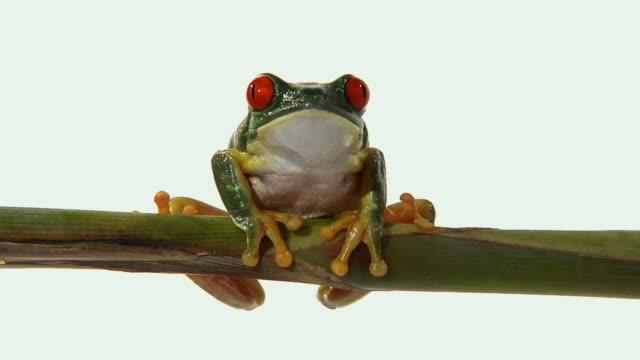 zi, cu, red-eyed tree frog (agalychnis callidryas) on twig - twig stock videos & royalty-free footage