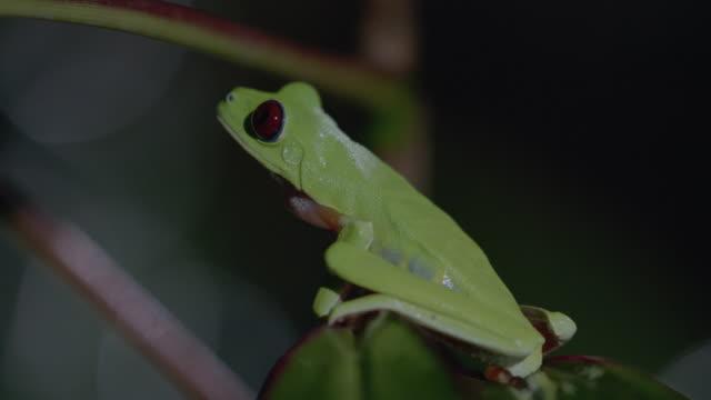 vídeos y material grabado en eventos de stock de ms red-eyed tree frog resting on tree leaf edge / panamá province, panama - rana arborícola de los ojos rojos