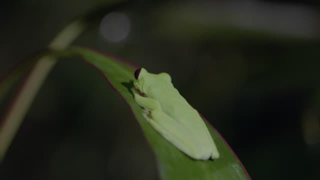 vídeos y material grabado en eventos de stock de ms red-eyed tree frog resting on tree leaf / panamá province, panama - rana arborícola de los ojos rojos
