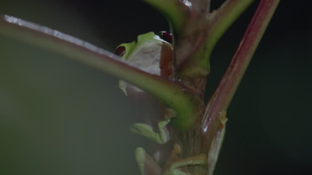 vídeos y material grabado en eventos de stock de ms red-eyed tree frog resting on tree / panamá province, panama - rana arborícola de los ojos rojos