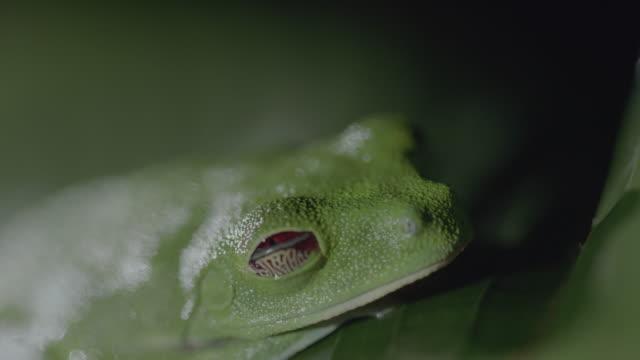 vídeos y material grabado en eventos de stock de cu red-eyed tree frog resting on tree / panamá province, panama - rana arborícola de los ojos rojos