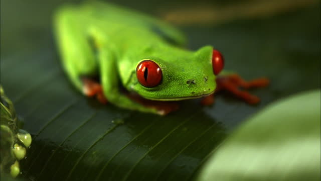 A red-eyed tree frog sits on a leaf near its eggs.