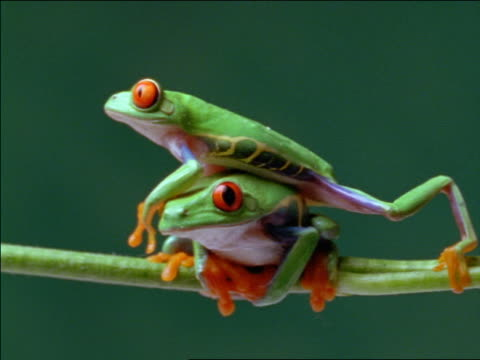 Red-eyed tree frog stepping on top of other frog perched on twig causing it to fall off