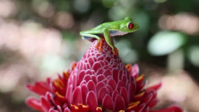 vídeos y material grabado en eventos de stock de red-eyed tree frog - rana arborícola de los ojos rojos