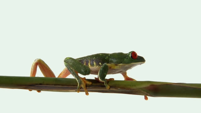 ms, red-eyed tree frog (agalychnis callidryas) walking on twig - twig stock videos and b-roll footage
