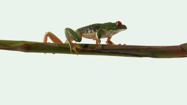ms, pan, red-eyed tree frog (agalychnis callidryas) walking on twig - twig stock videos & royalty-free footage