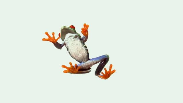 WS, LA,, Red-eyed Tree Frog (Agalychnis callidryas) walking on white background, view from below
