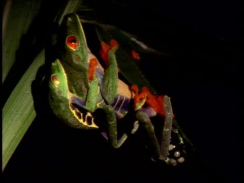 vídeos y material grabado en eventos de stock de mcu red-eyed tree frogs mating on leaf near eggs - rana arborícola de los ojos rojos