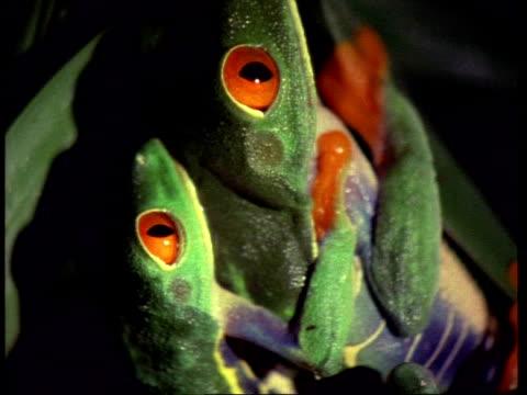 vídeos y material grabado en eventos de stock de cu red-eyed tree frogs mating - rana arborícola de los ojos rojos