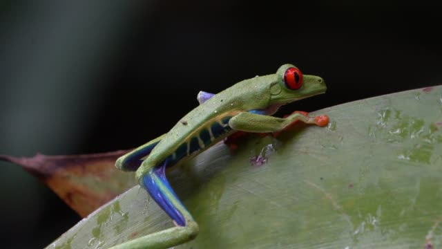 vídeos y material grabado en eventos de stock de red-eyed treefrog (agalychnis callidryas) in costa rica rainforest - rana arborícola de los ojos rojos