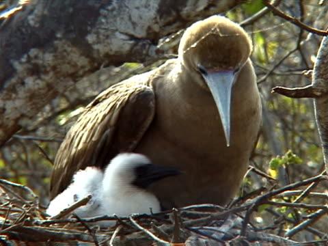 vídeos y material grabado en eventos de stock de red-footed booby adult and chick - alcatraz patirrojo