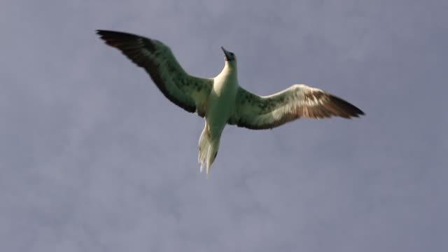 vídeos y material grabado en eventos de stock de red-footed booby (sula sula) flying above camera - alcatraz patirrojo