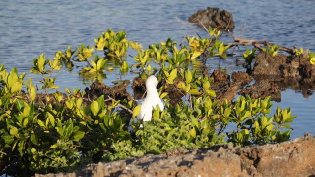 vídeos y material grabado en eventos de stock de red-footed booby in green bush near the water, isla genovesa, galã¡pagos, ecuador - alcatraz patirrojo