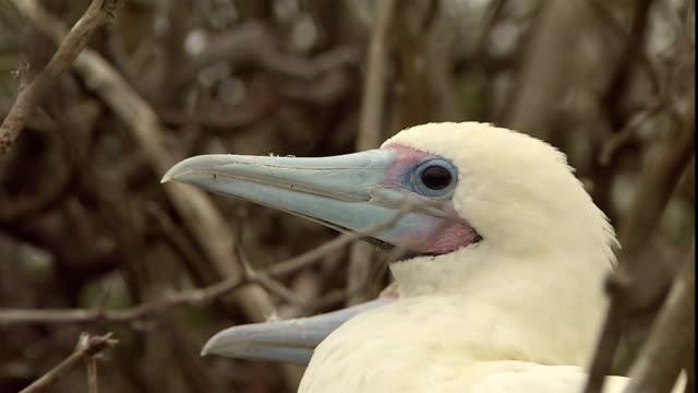 vídeos y material grabado en eventos de stock de a red-footed booby perches in twigs in the galapagos islands. - alcatraz patirrojo