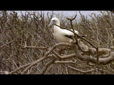 vídeos y material grabado en eventos de stock de red-footed booby (sula sula) perching on branch / galapagos islands - alcatraz patirrojo