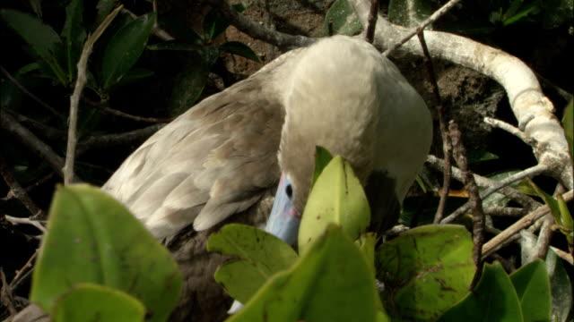 vídeos y material grabado en eventos de stock de a red-footed booby preens his feathers on the galapagos islands in ecuador. - alcatraz patirrojo