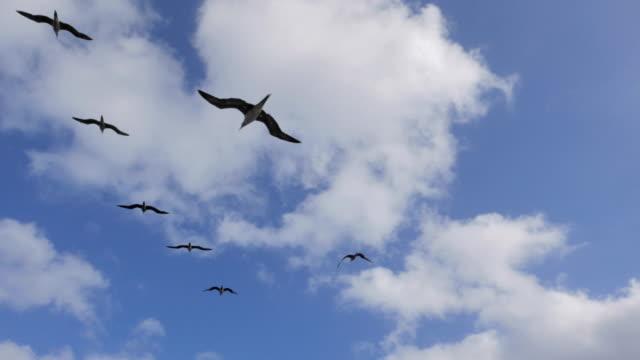 vídeos y material grabado en eventos de stock de piquero de patas rojas, aves de mar, méxico - alcatraz patirrojo