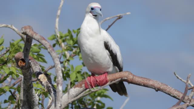 vídeos y material grabado en eventos de stock de red-footed booby sitting on a tree, cleaning himself, isla genovesa, galã¡pagos, ecuador - alcatraz patirrojo