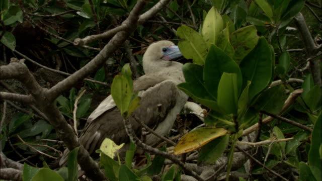 vídeos y material grabado en eventos de stock de a red-footed booby stands in light foliage on the galapagos islands in ecuador. - alcatraz patirrojo