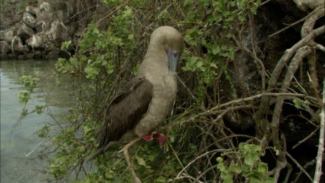 vídeos y material grabado en eventos de stock de a red-footed booby stands on a branch and preens itself. - alcatraz patirrojo