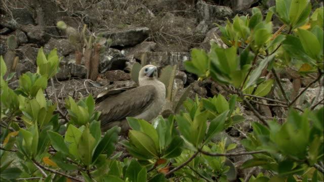 vídeos y material grabado en eventos de stock de a red-footed booby surveys its surroundings on the galapagos islands in ecuador. - alcatraz patirrojo