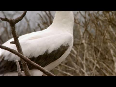 vídeos y material grabado en eventos de stock de red-footed booby (sula sula) taking off from tree / galapagos islands - alcatraz patirrojo