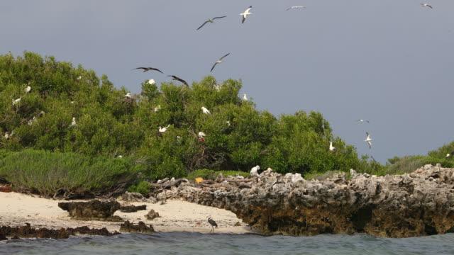 vídeos y material grabado en eventos de stock de red-footed boobys nesting on cosmoledo atoll - alcatraz patirrojo