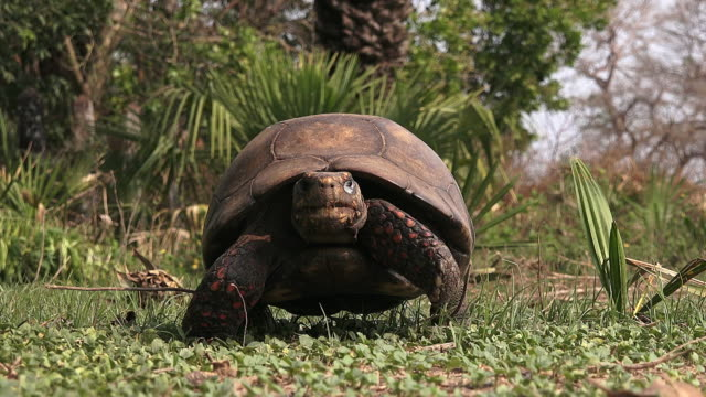 Red-footed Tortoise, cropped, Pantanal, Brazil
