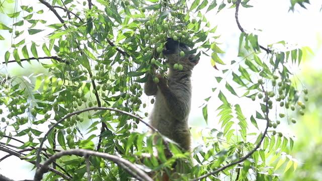 red-fronted brown lemur, kirindy forest, madagascar - 一匹点の映像素材/bロール