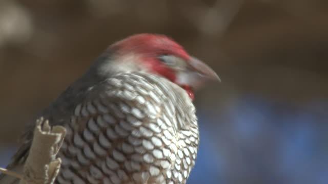 red-headed finch (amadina erythrocephala), male, sossusvlei, namibia - birdsong stock videos & royalty-free footage