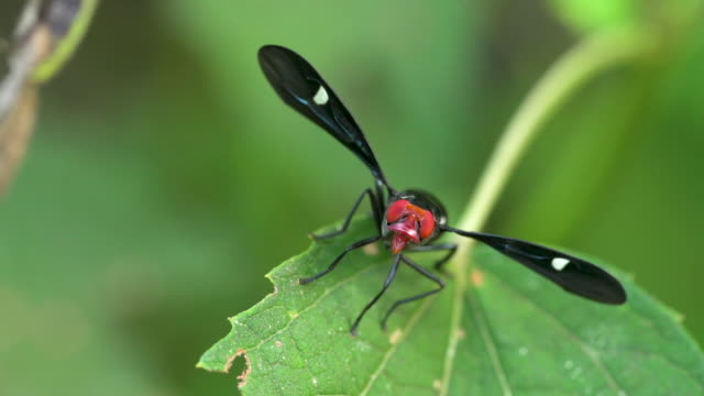 red-headed fly on a leaf pivots and looks - restlessness stock videos and b-roll footage