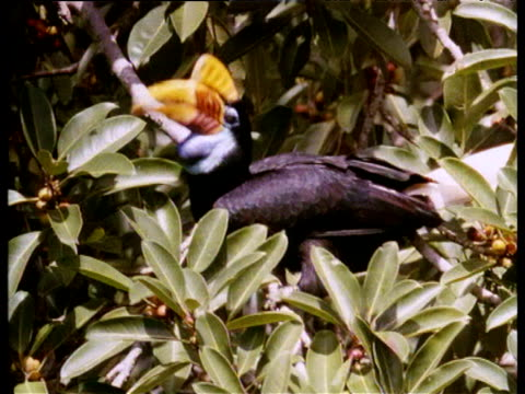Red-knobbed hornbills pick and devour figs in tree, Sulawesi